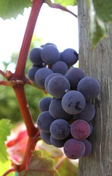 Free Ripe Grape Cluster Stock Image - 1260401