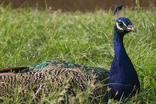 Free Peacock Portrait Stock Photo - 1262330