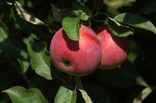 Free Red Apples Stock Photos - 1262453