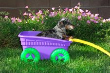 Little Girl Dachshund In The Wagon Royalty Free Stock Photos