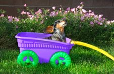 Little Girl Dachshund In The Wagon Royalty Free Stock Photo