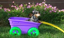 Little Girl Dachshund In The Wagon Stock Image