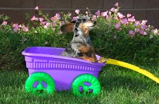 Little Girl Dachshund In The Wagon Royalty Free Stock Photography