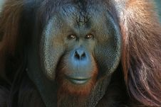 Free Orangutan Portrait Royalty Free Stock Photos - 1262798