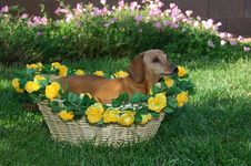 Little Girl Dachshund In A Basket Royalty Free Stock Image