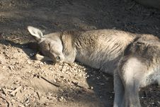 Free Sleeping Kangaroo Stock Images - 1263614