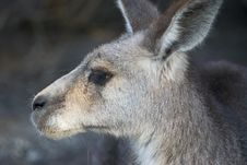Free Kangaroo Stock Photos - 1263663