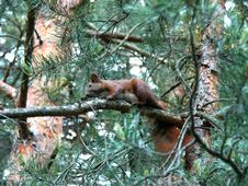 Squirrel On Pine Tree Stock Photo