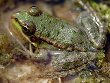 Free Frog Royalty Free Stock Photography - 1266847