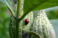 Free Lady Bug On Pods Royalty Free Stock Image - 1266976