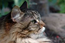 Free Tabby Cat In Profile Stock Images - 1267564