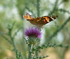 Free Butterfly On Thistle Stock Photo - 1268860