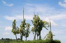 Free Vine Stock Photos - 1269113