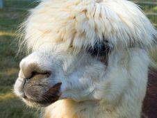 Free Lama - Face To Face Royalty Free Stock Photography - 1269667