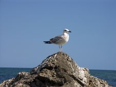 Free Lonely Gull Royalty Free Stock Images - 1269959