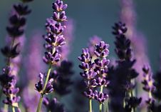 Free English Lavender, Lavender, Purple, Flower Stock Photography - 126020032
