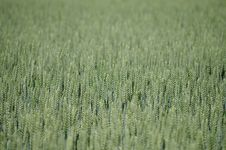 Free Field, Crop, Grass Family, Grass Royalty Free Stock Images - 126020039
