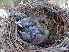 Free Bird, Nest, Bird Nest, Fauna Royalty Free Stock Photo - 126020275