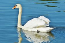 Free Swan, Bird, Water Bird, Ducks Geese And Swans Stock Images - 126020584
