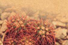Free Grusonii Rainbow Cactus Filtered Stock Photos - 126071193