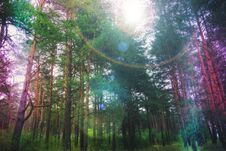 Pine Forest With Flare Stock Photos