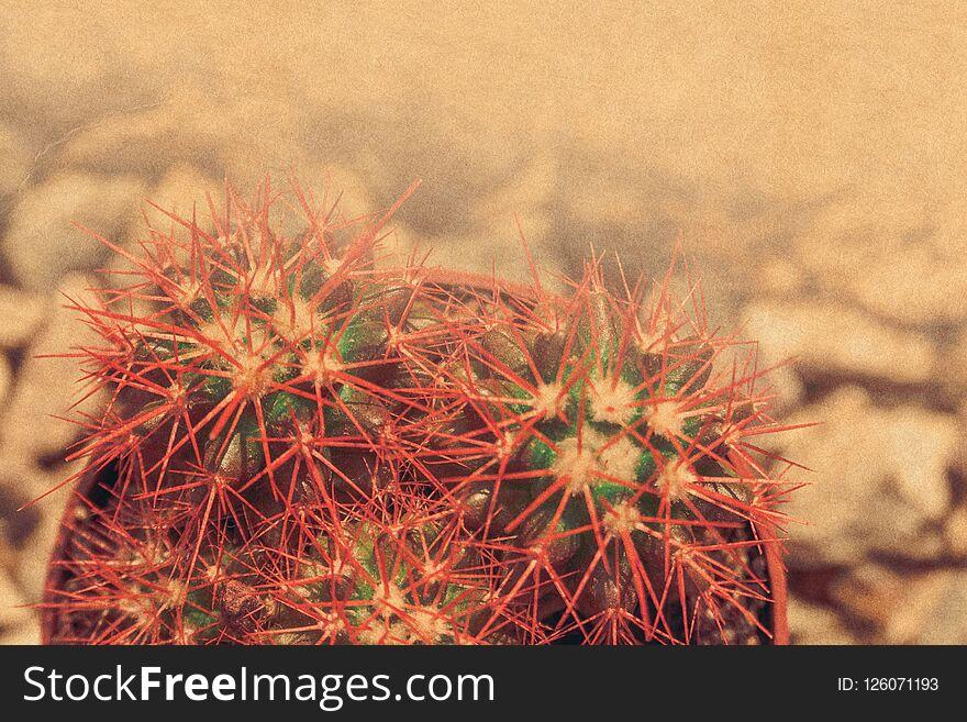 Grusonii rainbow cactus filtered