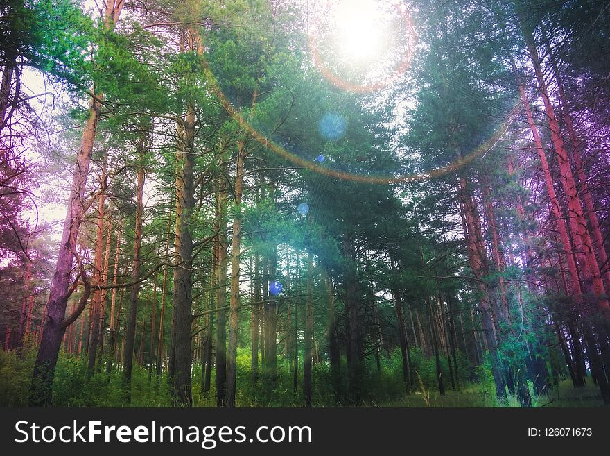 Pine forest with flare