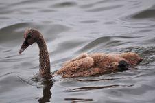 Free Fauna, Water Bird, Ducks Geese And Swans, Bird Stock Image - 126103381
