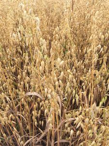 Free Grass Family, Crop, Food Grain, Grass Stock Images - 126103504