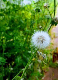 Free Flower, Flora, Plant, Dandelion Royalty Free Stock Image - 126103536