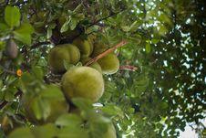 Free Vegetation, Fruit, Fruit Tree, Tree Royalty Free Stock Image - 126103636