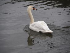 Free Swan, Bird, Water Bird, Ducks Geese And Swans Royalty Free Stock Photography - 126103777