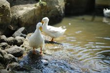Free Two White Ducks Near Body Of Water Stock Photography - 126176272