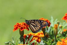 Free Selective Focus Photography Of Monarch Butterfly Perched On Marigold Flower Royalty Free Stock Images - 126176649