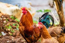 Free Two Brown Hen And One Red Rooster Stock Photo - 126176790