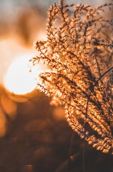 Free Closeup Photography Brown Leafed Plant During Golden Hours Royalty Free Stock Images - 126176899