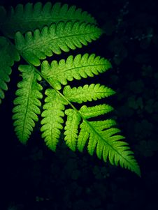 Free Close-up Photo Of Green Fern Leaf Royalty Free Stock Image - 126177226