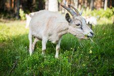 Free White Goat Eating Grass Royalty Free Stock Photo - 126177295