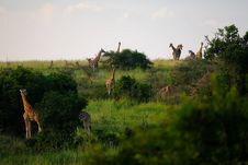 Free Giraffes Standing On Grass Field Surrounded By Plants Royalty Free Stock Photos - 126177828