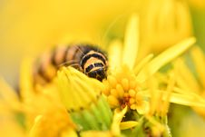Free Selective Focus Of Monarch Caterpillar On Yellow Daisy Flower Stock Images - 126178054