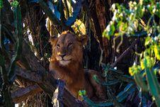 Free Lion On A Tree Stock Photos - 126178523