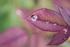 Free Shallow Focus Photography Of Purple Leaf With Morning Dew Stock Image - 126178691