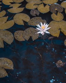 Free Photo White Water Lily Flower On Body Of Water Surrounded By Leaves Stock Photo - 126178780