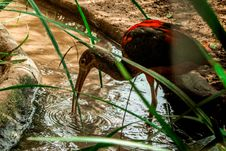 Free Black And Red Ibis Bird Standing On Clear Body Of Water Stock Photo - 126178820