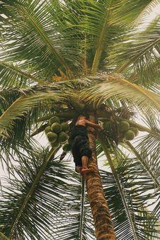 Free Boy Climbing On Coconut Tree Royalty Free Stock Image - 126179166