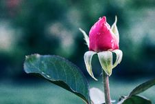 Free Photo Of Pink Rose Stock Images - 126179184
