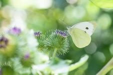 Free Cabbage White Butterfly Perching On Purple Flower In Selective Focus Photography Royalty Free Stock Photography - 126179217