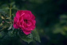 Free Selective Focus Photography Of Pink Rose Flower With Water Droplets Stock Photography - 126179342