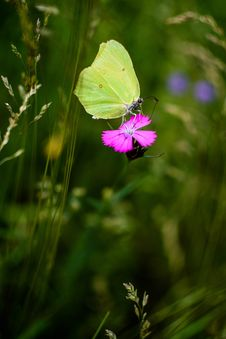 Free Yellow Surfer Butterfly Perched On Pink Petaled Flower Royalty Free Stock Photo - 126179395