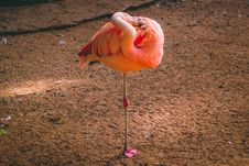 Free Flamingo Standing On Brown Soil Stock Photography - 126179502